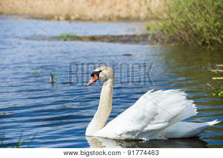 Mute Swan, Cygnus, Single Bird On Water