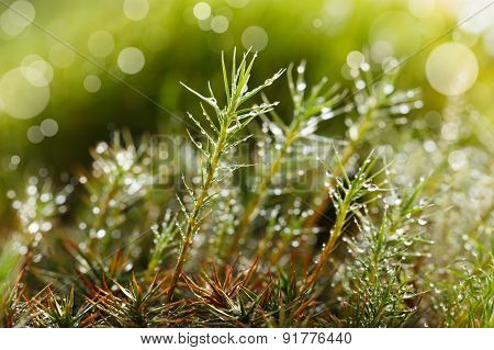 Rain Drops At Moss