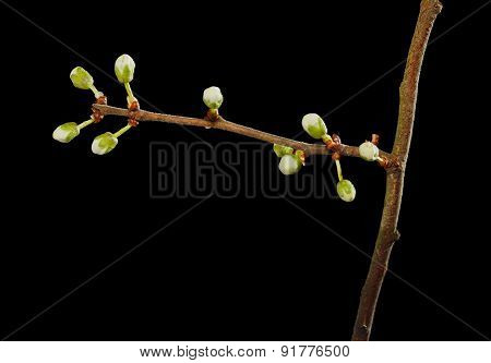 Fruit Tree Twig Blossom