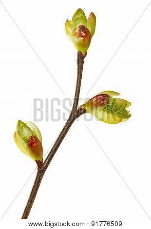 Spring Buds On Twig