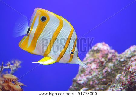 Copperband Butterflyfish, A Fish Found In Reefs Of Both Pacific And Indian Oceans