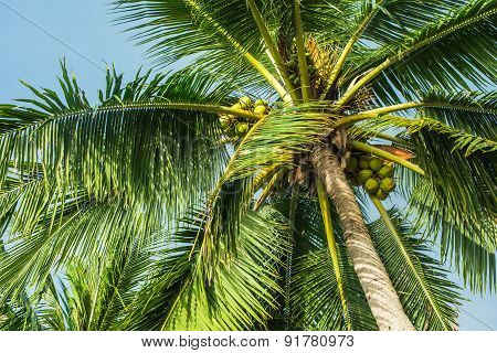 Top Of A Coconut Tree
