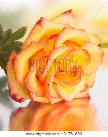 Beautiful Rose With Yellow Petals With A Red Border Lies On A Mirror Background
