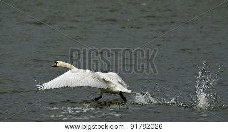 Swan about to fly