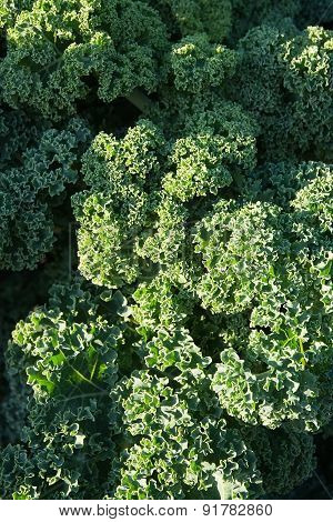 Green kale background Brassica