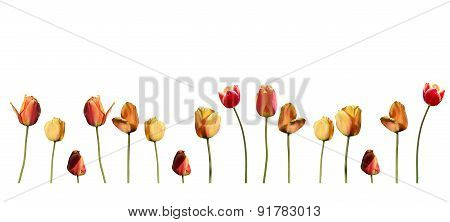 Tulips in red and yellow with stems isolated