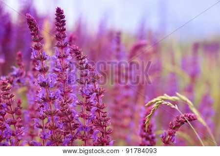 Sage flowers, Salvia officinalis