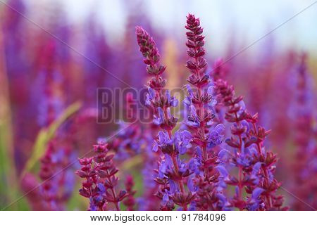 Sage flowers, Salvia officinalis