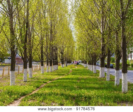 alley of poplars.