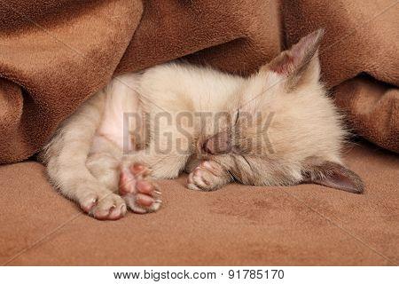 Cute Little Oriental Kitten Sleeps