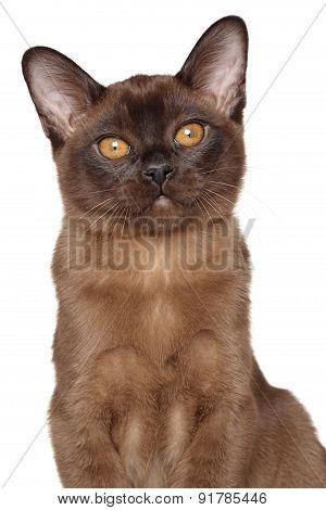 Burmese Kitten Isolated On White Background