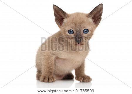 Chocolate Oriental Kitten