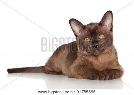 Burmese Kitten Lying