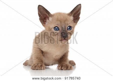 Oriental Kitten On White Background