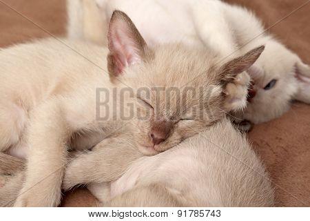 Oriental Kittens Sleep On Blanket