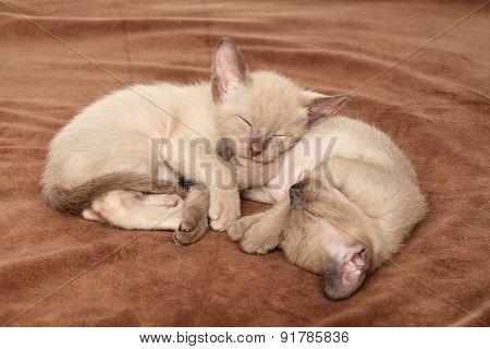 Oriental Kittens Sleep