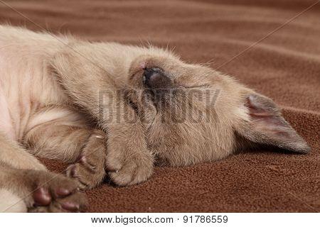 Kitten Sleeping Sweetly On A Brown Blanket