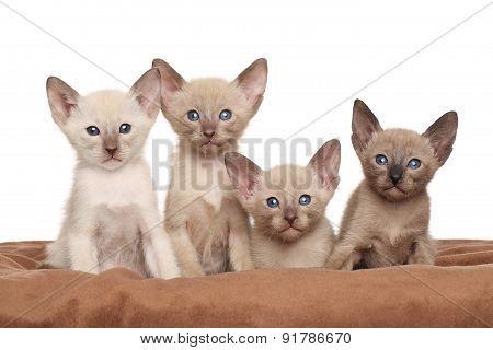 Oriental Kittens On Brown Blanket
