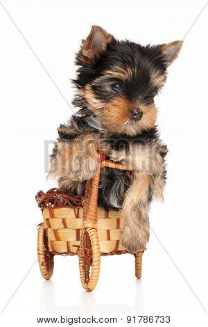 Yorkshire Terrier Puppy In Basket