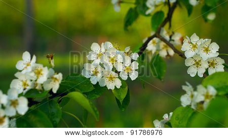 Blossoming pear-tree