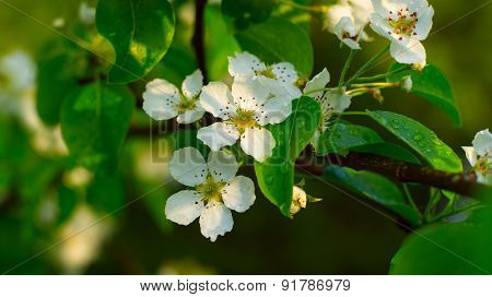 Flowers of a pear tree