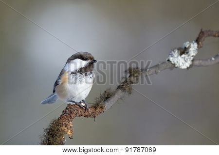 Siberian Tit on a branch.