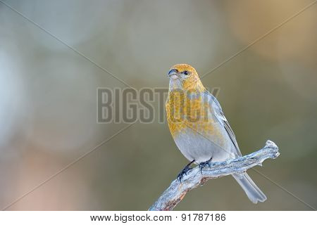 Grosbeak on branch