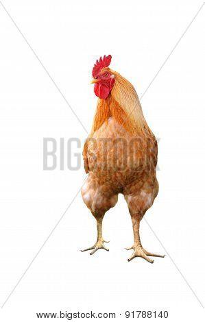 Domestic Bright Cock