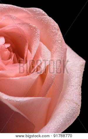 Close up shot of a beautiful pink rose on dark background