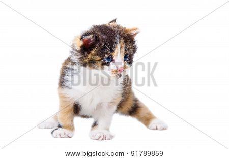 Cute tricolor kitten
