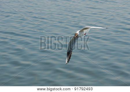 Black-headed gull making flight over Dnepr river