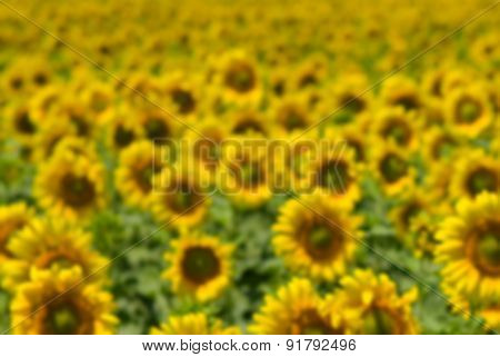 Blurry background - masses of sunflowers