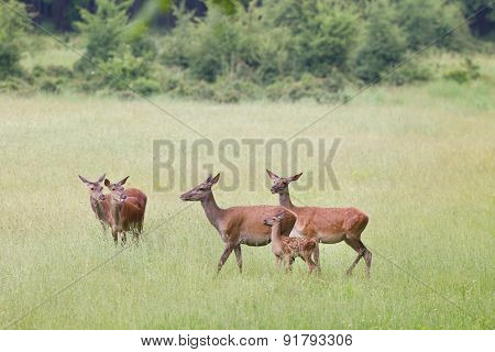 Hind Herd With Fawn