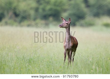 Hind In Grass