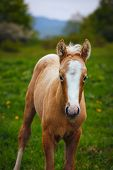 picture of foal  - cute brown foal in a green meadow with white stripe on the head