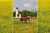 pic of buttercup  - collage of buttercup meadows with grazing ponies in idyllic rural landscape - JPG