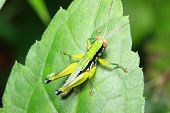 foto of leaf insect  - insect on leaf Grasshopper perching on a leaf - JPG