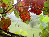 foto of vines  - Grape Vine Window - JPG