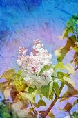 picture of lilac bush  - Beautiful spring flowers lilac photographed close up  - JPG