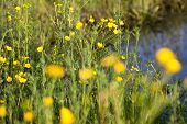 foto of buttercup  - Green meadow with blooming yellow buttercup flowers - JPG