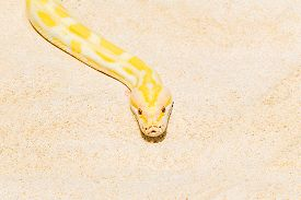 picture of pythons  - Closeup Gold Python on the sandy tropical beach Reticulated python  - JPG