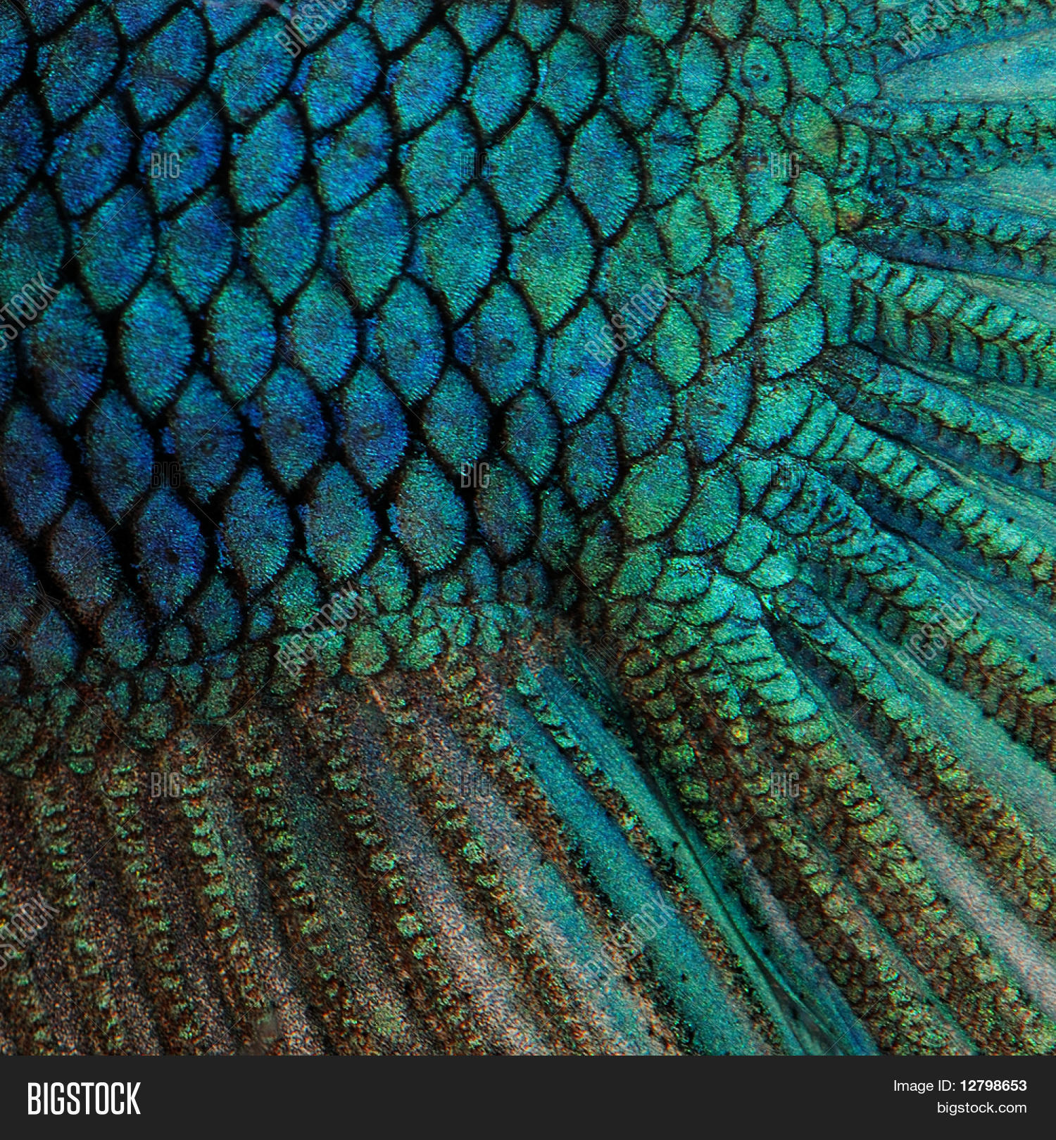fish feeds from fish scales Larger unusual fish species that adults feed on insects and snakelike body is hard to confuse with other fish small, embedded scales like those of.