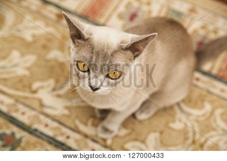 Yellow-eyed exotic cat sitting on the floor