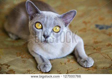 Elegant exotic cat with the curious look