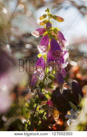 Purple foxglove flowers, also known as Digitalis