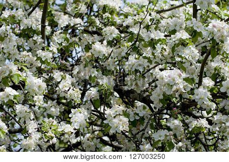 the blossoming apple-tree in april a subject spring fruit trees blossoming