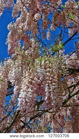 Abundant blossoms of pink wisteria, in the springtime