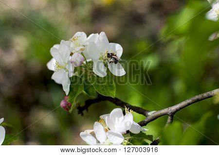 the blossoming apple-tree branch a bee collects nectar a subject spring fruit trees blossoming