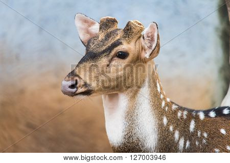 Close up on head of brown polka dot deer with no antler on blurred background