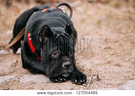 Beautiful Black Young Cane Corso Puppy Dog Sit Outdoors. Big dog breeds. Close up